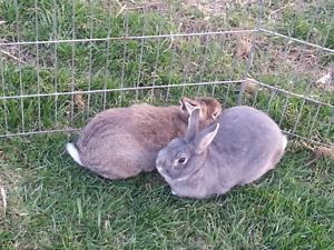 Two Male Netherland dwarf mix brothers (both fixed )
