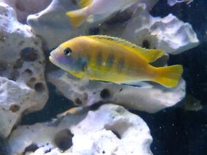 3X Cichlide africain ruarwe zebra gold5-6 pouce poisson aquarium