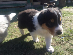 Border Collie puppies are looking for friendly family!