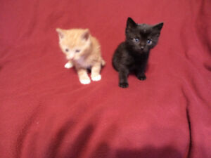 male kittens for adoption