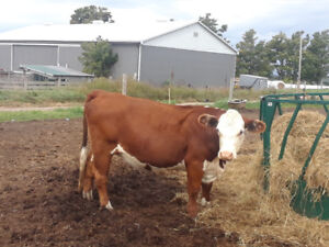 Hereford bred cow
