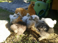 Silkie chickens / Poulets Soie 1.5 month