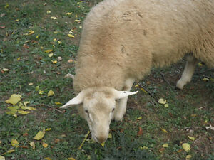 Breeding Ram, Rideau Arcott/ile de france, 8 Months old Cambridge Kitchener Area image 4