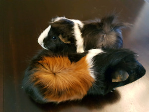 2 beautiful 18 month old female guinea pigs, cage etc