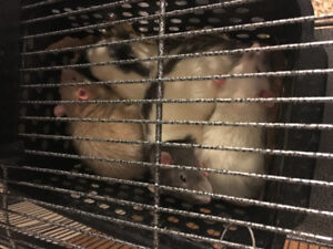 Looking for female and male rats