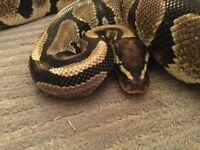 2014 male royal python with rub set up