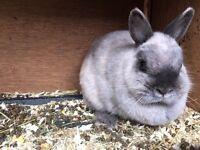Netherland dwarf female rabbit for sale.