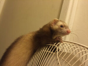 Young Ferrets for Sale!