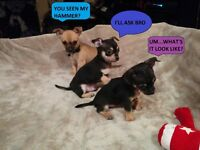 AY CHIHUAHUA! These Puppies are Cute! Just Two Left