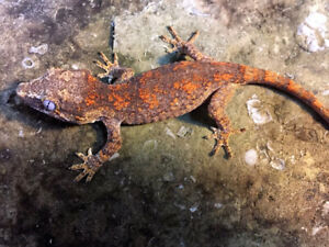 Various geckos for sale