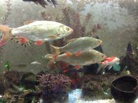 Pond Rudd fish for fishtank aquarium