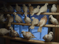 Doves ,breeding pairs and 2015 banded young birds