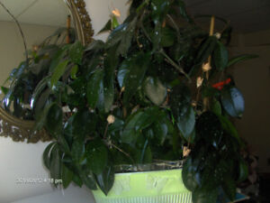 Hoya plant, large and healthy