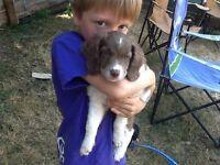 8 week old springer doodle puppies
