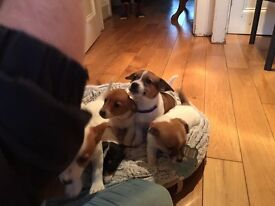 **FOR SALE Jack Russell Puppies**