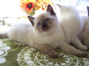Traditional Siamese Kittens
