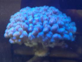 Rainbow Pocillopora sps coral