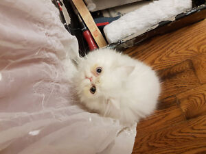 NEUTERED White Male Persian Kitten