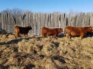 Selling yearling pure bred limousine bulls.