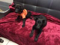 Female black lab puppies - 2 left