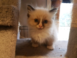 Ragdoll Kitten- Male