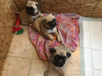 Pure Bred Pug Puppies - Found their forever home
