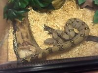 Female crawl cay dwarf boa (year old)