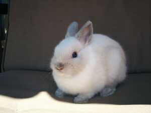 Purebred Netherland dwarf and Holland lop bunnies