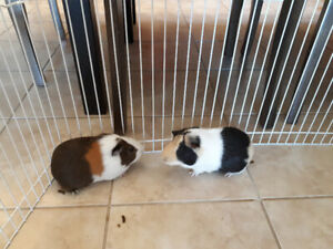 2 male guinea pigs (brothers)...Found a new home!