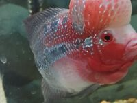 Flowerhorn 5 1/2 inch for $120 only!!!