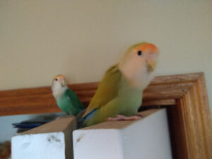 Breeding pair and baby lovebirds and cage