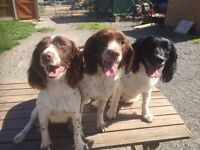 Kc reg English springer spaniel pups both colours and sexes