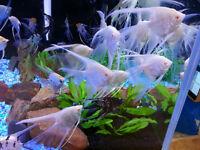 Angels Fish Discus Pleco Arowana Flowerhorn Koi Cichlids Aquariu