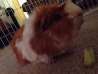 Two Guinea pigs!