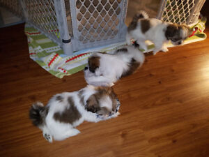3 FEMALES  PURE BREED SHIHTZU READY FOR NEW HOME