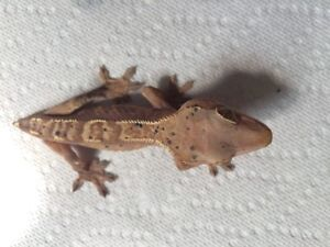 Tailless female crested gecko