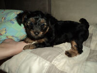 Chiot femelle Yorkshire X Caniche miniature (Yorkipoo)