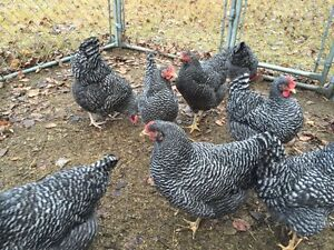 HATCHING EGGS- PURE PLYMOUTH BARRED ROCK
