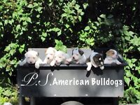 Big Beautiful  Purebred American Bulldog Puppies...