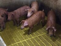 Part time help wanted on pig farm
