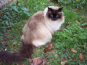 WANTED: SIAMESE LONGHAIR CAT (OR BALINESE / HIMALAYAN)