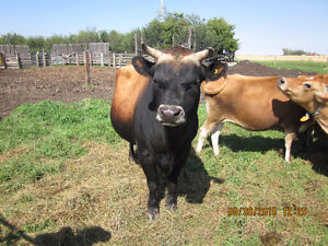 Purebred Jersey Bull for sale