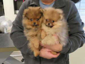 2 CKC Registered Male Pomeranian Puppies For Sale