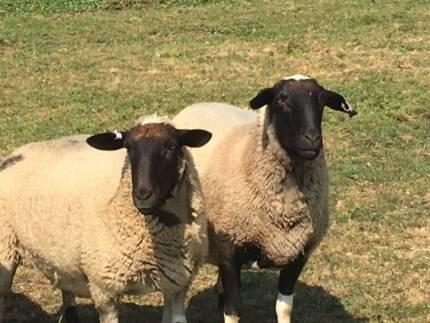 Dorper ewes