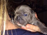 Pure Blue, Blue fawn(MINK) & blue pied French bulldog puppies