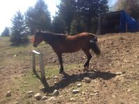 8 year old thoroughbred/quarter horse.