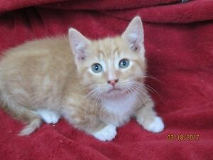 Munchkin Kittens - Male - Orange Available, B/W is Sold