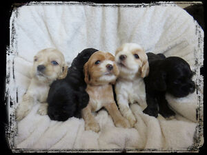 UPDATE  Amercan Cocker Spaniel Puppies Looking For New Homes!