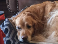 MISSING GOLDEN RETREIVER
