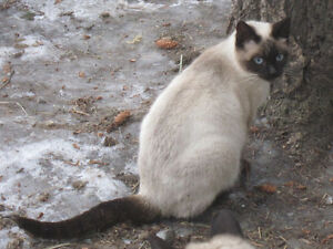 Female Seal Point Siamese